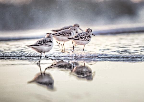 Surf City Beach NC sandpiper birds along the shoreline